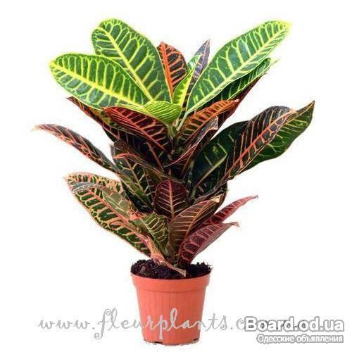 Киви комнатное растение комнатный