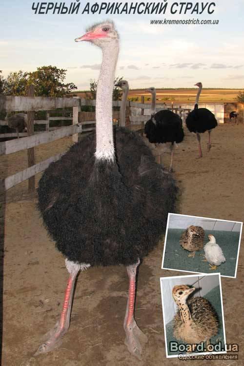 куда продать мясо страуса оптом просто обязан