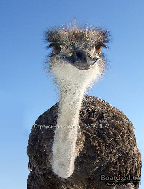 Страусиная ферма Саванна - выращивание страусов, страусоводство