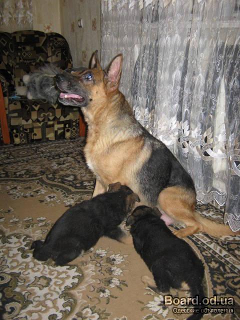 ...овчарку недорого: овчарка волкодав, немецкая овчарка 5 месяцев.