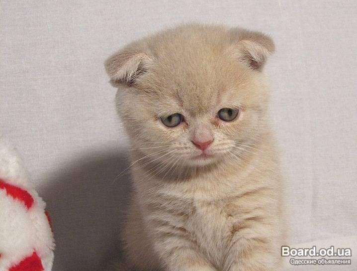 Вислоухие котята в крыму