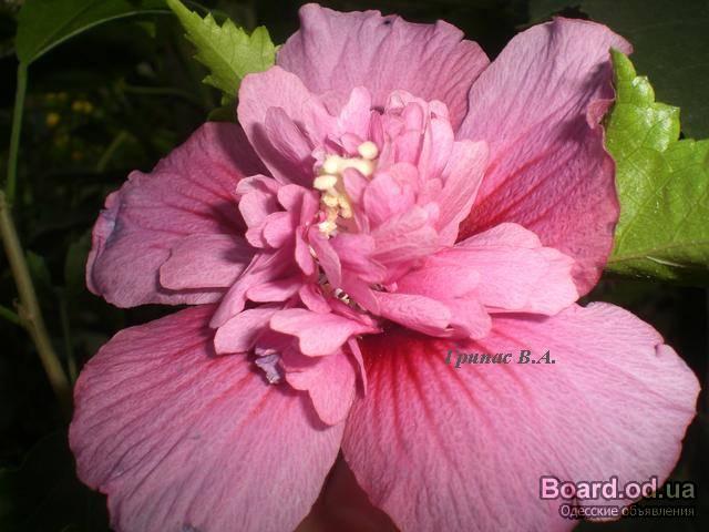 Садовые цветы многолетники с