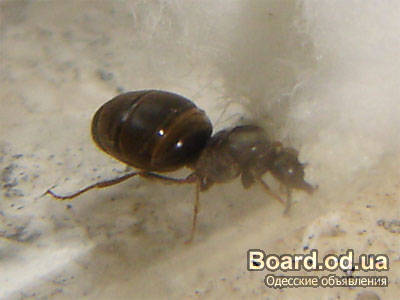 муравьиные матки.