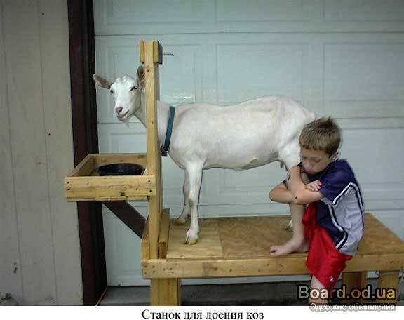 Фото станок для доения козы своими руками