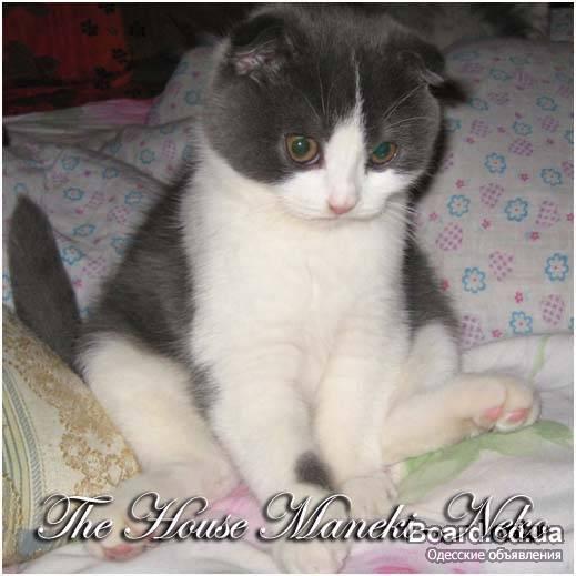 Перейти к объявлению ''Шотландский вислоухий котик.  Предыдущее фото.