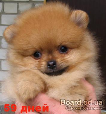 Первые 2 фотки это щенки померанского шпица. у меня раньше был...